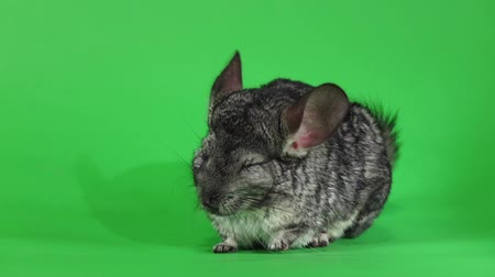 gnawer : Gray chinchilla washed and licked muzzle, slow motion. Green screen Stock Footage