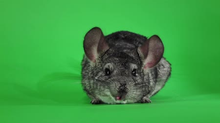 gnawer : Chinchilla washed and licked sideways camera. Green screen, slow motion