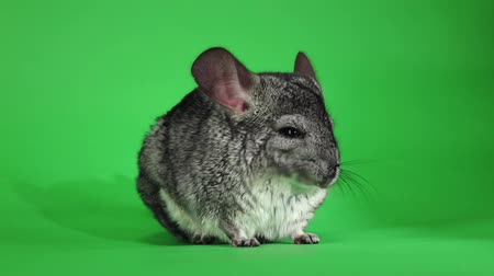 gnawer : Chinchilla licking muzzle and falling asleep. Green screen, slow motion