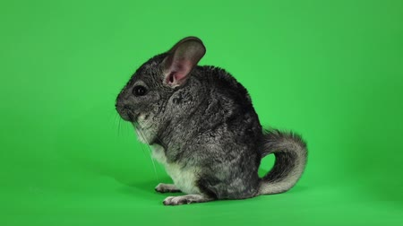 gnawer : Chinchilla sits on hind legs sideways to viewer. Slow motion
