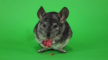 gnawer : Chinchilla eats food for rodents from seeds in slow motion