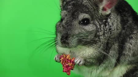 gnawer : Closeup of chinchilla eats food for rodents in slow motion Stock Footage