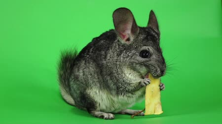 gnawer : Gray chinchilla eating piece of apple sitting in slow motion