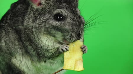 gnawer : Chinchilla eating piece of apple sitting in slow motion. Closeup