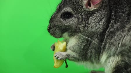 gnawer : Chinchilla eating piece of apple, sideways to viewer. Slow motion Stock Footage
