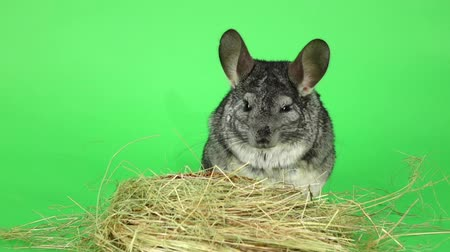 gnawer : Gray chinchilla sitting in haystack on green background. Slow motion Stock Footage