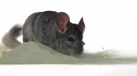gnawer : Chinchilla is bathed in sand, cleansing fur. Closeup, slow motion