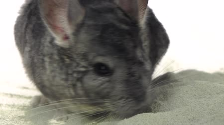 gnawer : Chinchilla is bathed in sand for cleansing in slow motion
