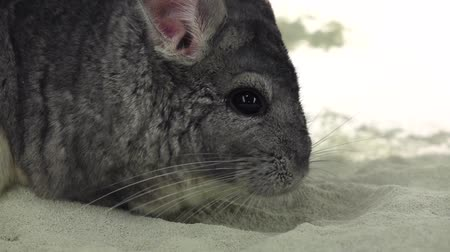 gnawer : Chinchilla is bathed in sand for cleansing, slow motion. Closeup