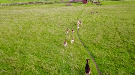 ruminante : Group of deer running along the path on meadow. Aerial survey. Slow motion