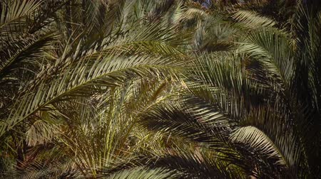 jasně : Leaves of the palm grow in the wind, glare from the bright sun. Close up