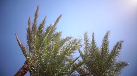 jasně : Palm trees sway from the wind on the beach. Close up. Slow motion