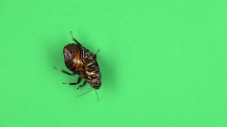 ужасный : Cockroach spins on its shell. Green screen. View from above