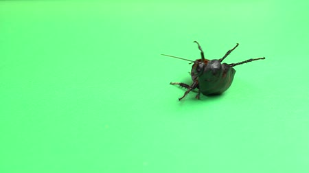 madagascan : One cockroach spinning on its back and trying to stand on its paws. Green screen