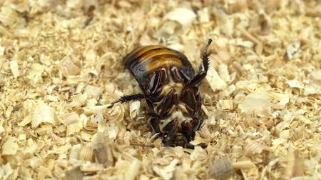 madagascan : Cockroach is rowing in the sawdust on the back