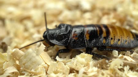 madagascan : Madagascar cockroach creeps in the sawdust. Close up Stock Footage