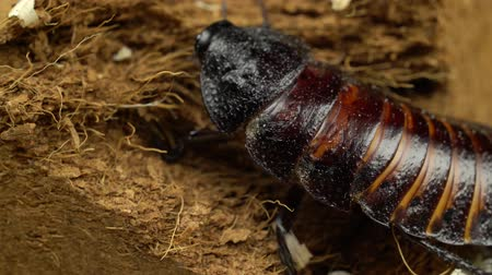 madagascan : Madagascar cockroach crawls on the ground. Close up