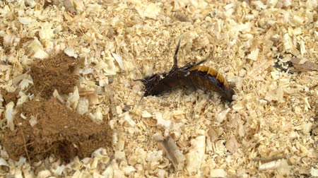 korkunç : Cockroach is rowing in the sawdust on the back