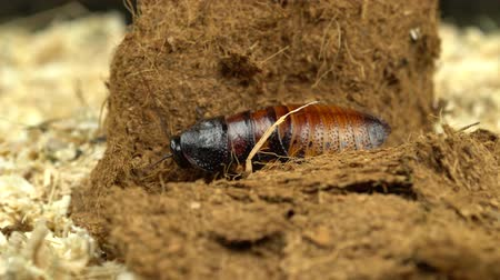 madagascan : Madagascar cockroach creeps in the sawdust. Close up. Black background