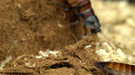 madagascan : Two madagascar cockroach creeps in the sawdust. Close up. Black background