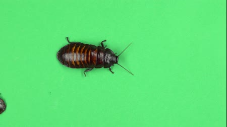 korkunç : Two madagascar cockroach crawls. Green screen. View from above Stok Video