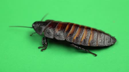 biggest : One cockroach spinning on its back and trying to stand on its paws. Green screen. Close up Stock Footage
