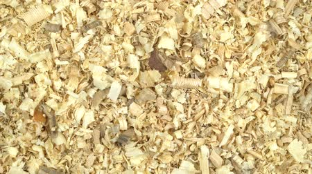 madagascan : Madagascar cockroach creeps in the sawdust. View from above