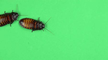 biggest : Two madagascar cockroach crawls. Green screen Stock Footage