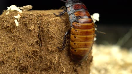 preslenmiş : Madagascar cockroach creeps in the sawdust. Close up Stok Video