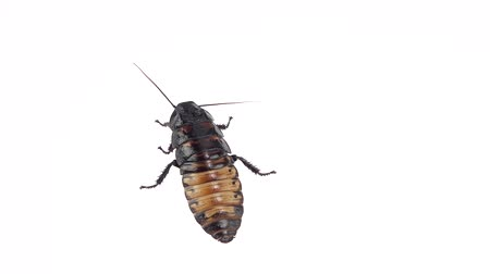 looking distance : Cockroach stands in one place. White background. Close up. Slow motion Stock Footage
