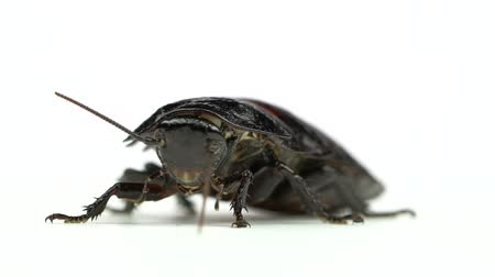 madagascan : Cockroach stands and looks into the distance. White background. Close up. Slow motion