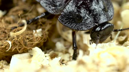 madagascan : Cockroach crawls on the sawdust. Close up. Slow motion