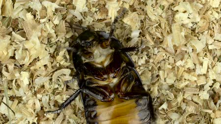 madagascan : Cockroach lies on its back in the sawdust. Close up. Slow motion. View from above