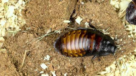 madagascan : Two cockroaches crawling from one corner to the other. Close up. Slow motion. View from above