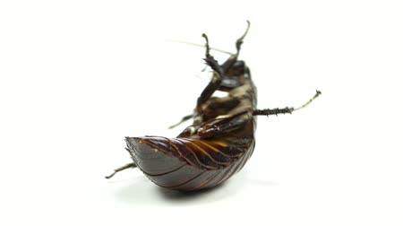 ruch : Cockroach lies on its back with its paws up and turns. White background. Close up. Slow motion