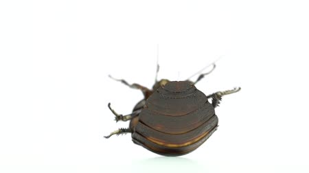 madagascan : Cockroach lies on its back. White background. Close up. Slow motion Stock Footage