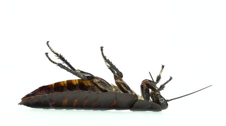 korkunç : One cockroach lies on its back. White background. Side view. Slow motion Stok Video