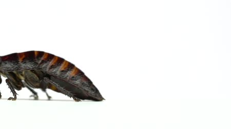 madagascan : Cockroach crawls from side to side. White background. Side view. Slow motion Stock Footage