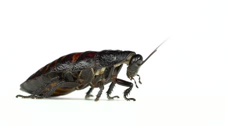 aşağıda : Cockroach stands and stirs the mustache. White background. Side view. Slow motion Stok Video
