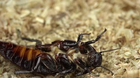 looking distance : Cockroach lies on its back in the sawdust. Close up. Slow motion. View from above