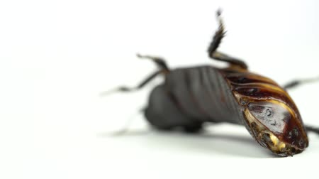 madagascan : Cockroach lies on its back. White background. Close up