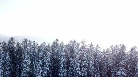 geada : Winter forest in snow and fog. Aerial view