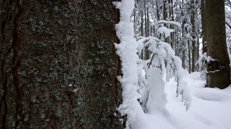 dimension : Coniferous winter forest, completely in the snow. Dolly shot. Slow motion. Close up