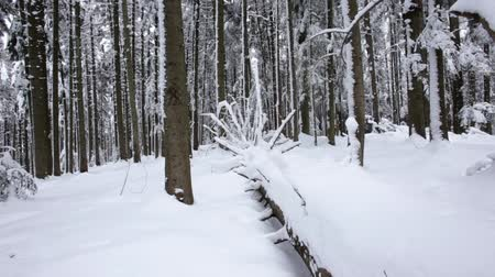 dimensão : Snow lies on the paths in the coniferous forest. Dolly shot. Slow motion. Close up