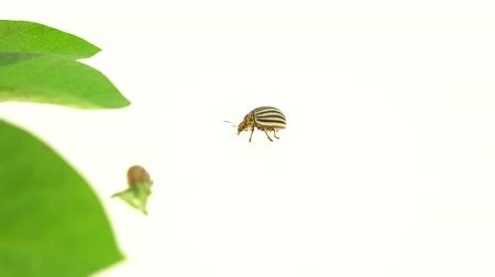 haşarat : Colorado bug runs to a bush of potatoes on a white background