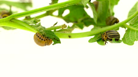 bloodsucker : Larvae of a potato bug eat a bush on white background Stock Footage