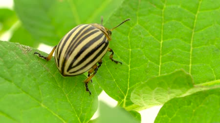 naživu : Colorado bug sits on a green leaf on a white background. Slow motion