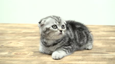 longhair : Folded toddler kitten scottish fold is played looking up. White background