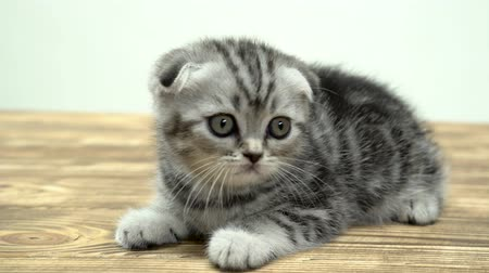 crouch : Kitten scottish fold with big eyes sits . White background