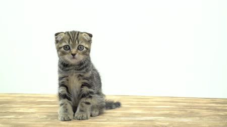 longhair : Small striped kitten sits on a wooden floor and lick. White background Stock Footage